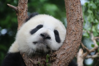 panda-1236875